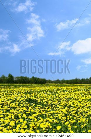 yellow dandelion green field nature background