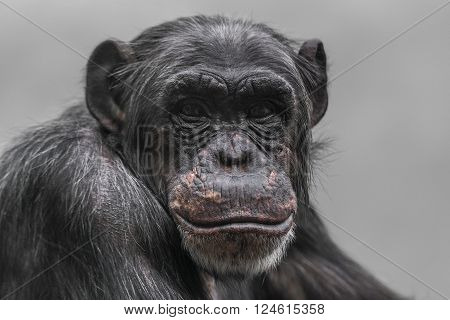 Thinking Chimpanzee Portrait Close Up
