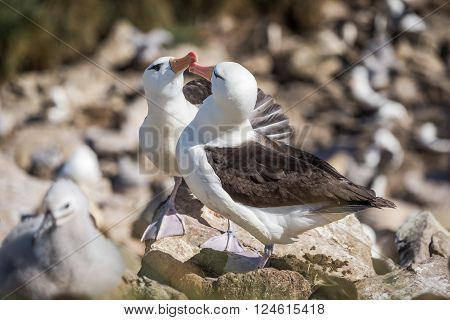 Pair of courting black-browed albatross touching beaks
