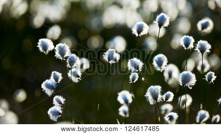 Cotton grass photographed against Finnish light in a finnish swamp in spring