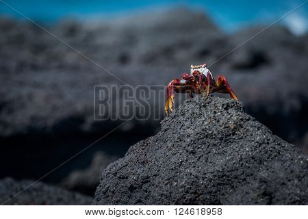Sally Lightfoot crab perched on rocky mound
