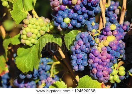 Red wine grapes growing burgundy vineyard france