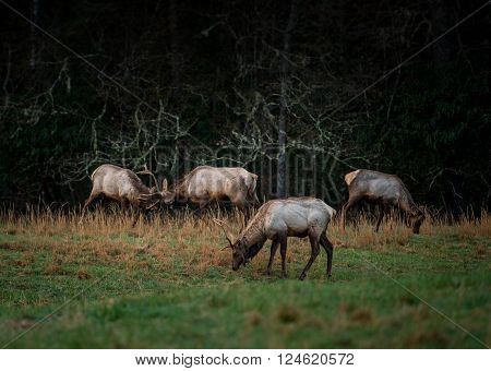 Group of Bull Elk Spar in Early Spring in the Cataloochee Valley