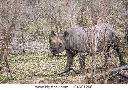 Specie Diceros bicornis famuly of Rhinocerotidae, black rhinoceros in the bush, Kruger park