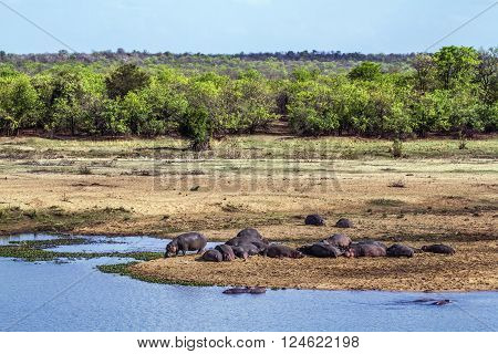 Specie Hippopotamus amphibius family of Hippopotamidae, wild hippos sleeping in the riverbank in Kruger park