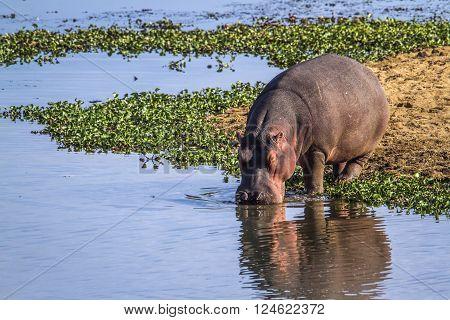 Specie Hippopotamus amphibius family of Hippopotamidae, wild hippo drinking in Kruger park