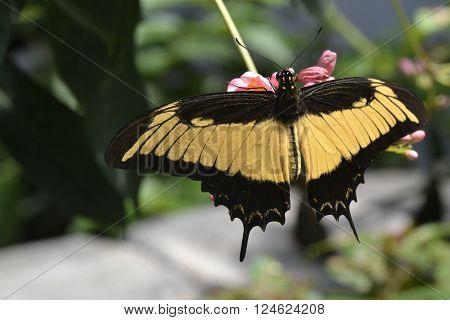 A yellow and black swallowtail butterfly on a pink flower.