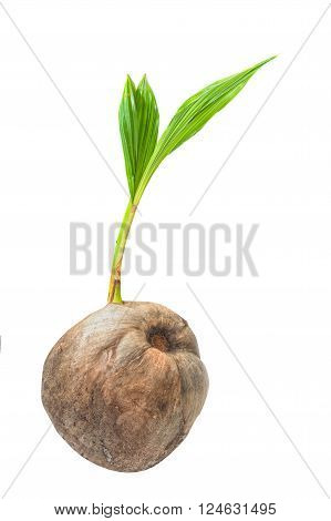 Young coconut tree seed germination green leave isolated on white background.