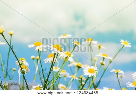 White Daisies In A Field Against The Sky