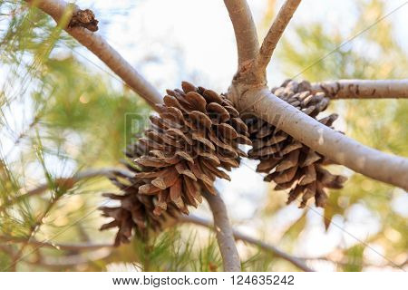 Dry pinecone of mediterranean pine on tree