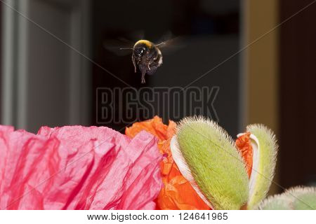 a bumble bee hovering over a poppy in search of nectar