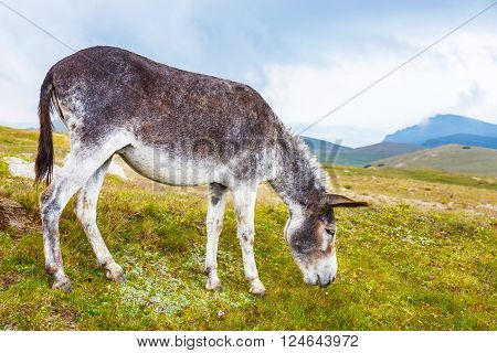 portrait of grey donkey in Bucegi mountains