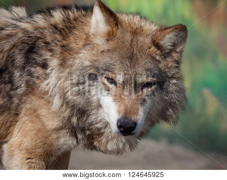 Grey Wolf (Canis lupus) looking to the camera
