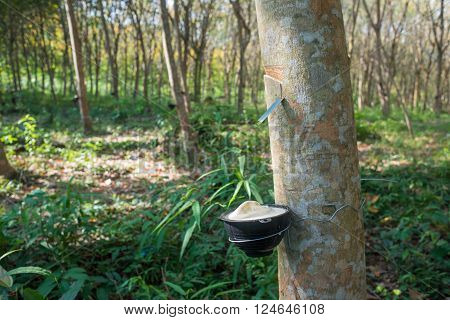 Highly detailed image of rubber tree plantation Thailand