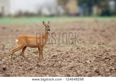 Roe-deer in the wild in the field