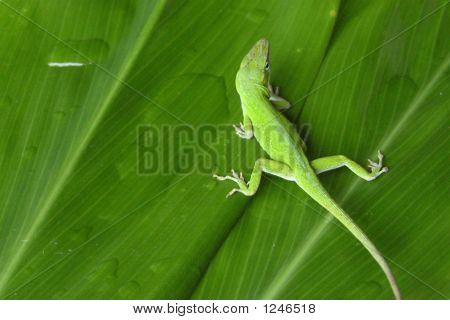 Green Anole On Ti Leaves
