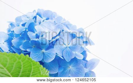 Soft blue Hortensia flower (hydrangea) on white background. Shallow depth of field.