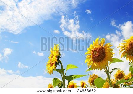 Group of Sunflowers with nice blue sky