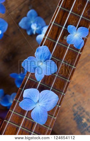 Blue Hydrangea flowers on a vintage ukulele neck or fret board. Shallow depth of field.
