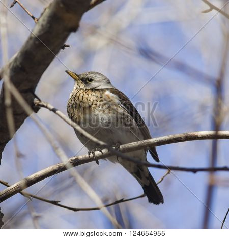 Fieldfare Turdus pilaris portrait in branches on sunny day selective focus shallow DOF