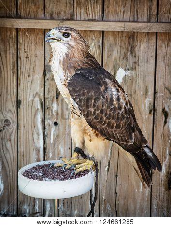 Golden eagle (Aquila chrysaetos) - big bird of prey. Animal scene.