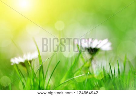 Fresh spring bokeh with green grass and daisies. Soft Focus. Abstract Nature Background