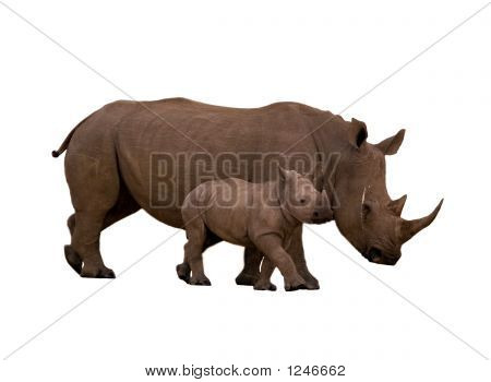 Rhino With Calf Isolated On White