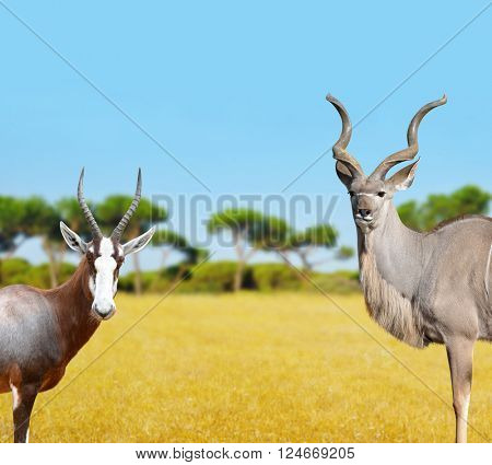 Blesbok antelopes and Greater Kudu in savannah.