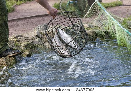 the fisherman pulls out a trout a net from a pond in clear summer day