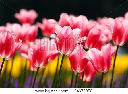 Beautiful pink tulips, backlighted - sunny bright scene
