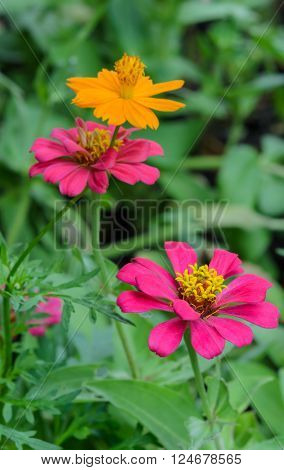 Pink and yellow Zinnia elegans in field