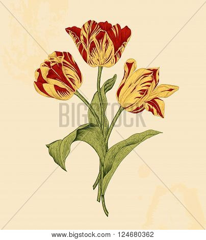 Bouquet of three red and yellow tulips on beige background. Vector vintage element for design in the style of European botanical illustrations of the 19th century.