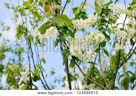 Blossoming plum flowers on sunny blue sky background
