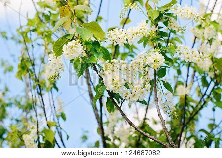 Blossoming plum flowers in sunny spring day