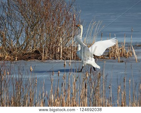 Whooper swan (Cygnus cygnus) landing on icy lake on a sunny spring day in Finland.