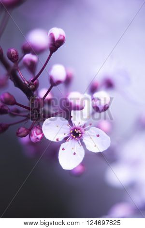 Cherry Tree Blossom Flowers