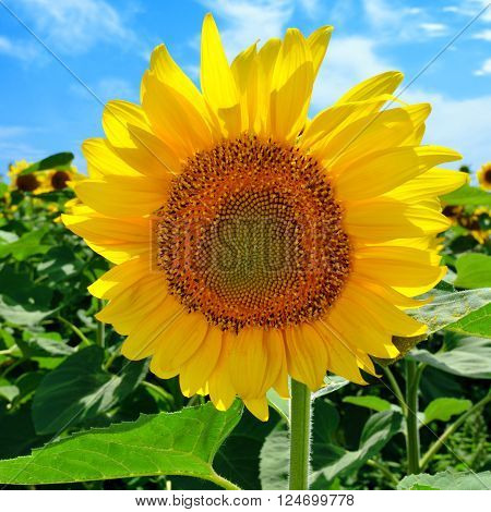 Sunflower in the field against the blue sky in sunny day