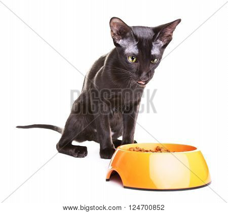 crazy black oriental shorthair cat eats dry pet food, isolated on white