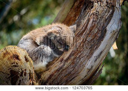 Australian koala bear sleeping on a tree in a wild environment