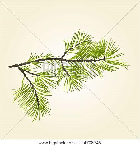 Branch Pine conifer natural background vector illustration