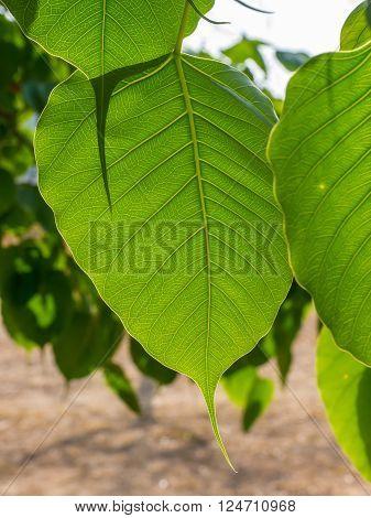 Closeup of green cordate leaf in natural park