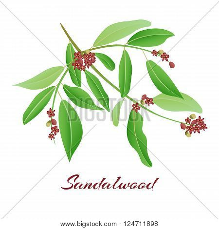 Sandalwood tree branch. with red flowers Vector illlustration.