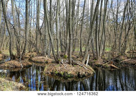 Nice spring scene with bog in forest