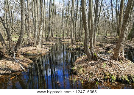 spring time on bog in deep forest