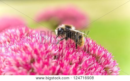 Honeybee collecting pollen from Sedum in the summer time.