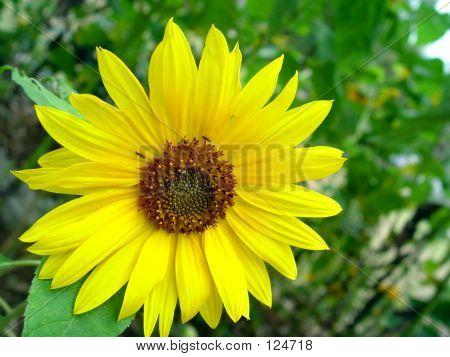 Baguio Sun Flower 3