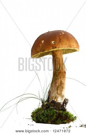 isolated bolete