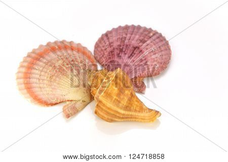 Seashell and starfish isolated on white background. The Seashell Collections.