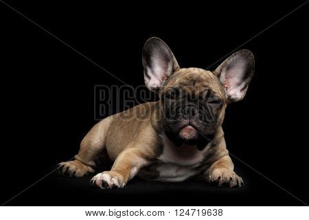 Sly French Bulldog Puppy Lying and squint Looking Front view Isolated on black background