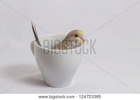 The Little Budgerigar Parakeet on white background